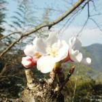 宇和島の桜は「日本一」なのです!
